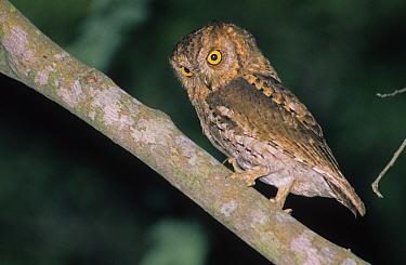 Oriental Scops Owl (Otus sunia) On branch, Hong Kong  -  John Holmes/ FLPA