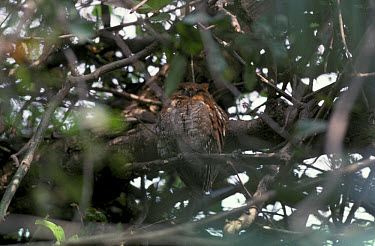 Oriental Scops Owl (Otus sunia) Perched on branch, Rajasthan, India  -  Neil Bowman/ FLPA