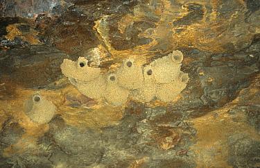 Fairy Martin (Hirundo ariel) Nest's in cave, Kakadu, Australia  -  David Hosking/ FLPA
