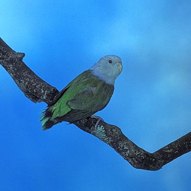 Madagascar Lovebird (Agapornis cana)  -  David Hosking/ FLPA