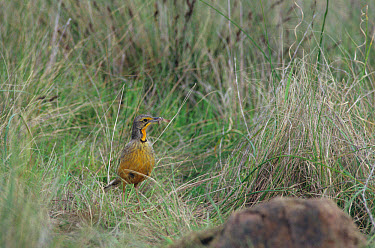 Orange-throated Longclaw (Macronyx capensis) standing in grass, food in beak  -  David Hosking/ FLPA