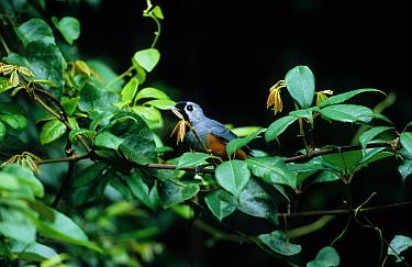 Black-faced Monarch (Monarcha melanopsis) perched in bush, SE Queensland, Australia  -  Neil Bowman/ FLPA