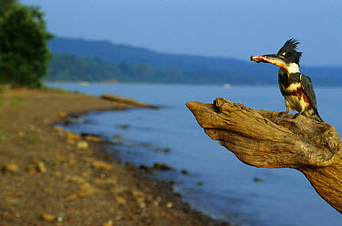 Belted Kingfisher (Ceryle alcyon) female, on dead tree, with minnow, river bank, Ohio  -  S & D & K Maslowski/ FLPA