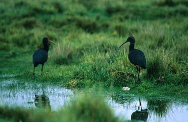 Puna Ibis (Plegadis ridgwayi) Two standing at waters' edge, Lake Junin, Peru,Feb.'  -  Leo Batten/ FLPA