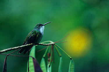 Hummingbird, White-chested Emerald (Amazilia chionopectus) Perched on twig  -  S & D & K Maslowski/ FLPA