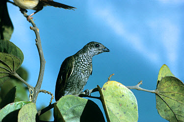 Spotted Honeyguide (Indicator maculatus) perched on branch  -  Michael Gore/ FLPA