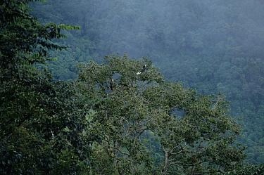 Rufous-necked Hornbill (Aceros nipalensis) Female in tree by main E-W highway, E.Bhutan  -  Keith Rushforth/ FLPA