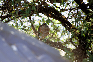 African Goshawk (Accipiter tachiro) Male perched in tree, S.Africa  -  William S. Clark/ FLPA
