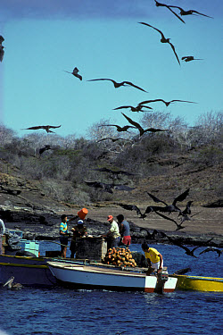 Magnificent Frigatebird (Freagata magnificens) In flight, scavenging fish offal, Galapagos Is. (S)  -  Philip Perry/ FLPA