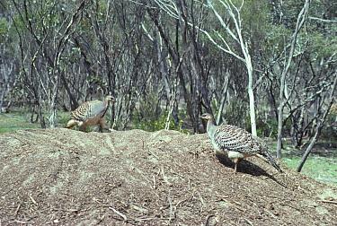 Mallee Fowl (Leipoa ocellata) Pair digging at mound  -  Tom and Pam Gardner/ FLPA