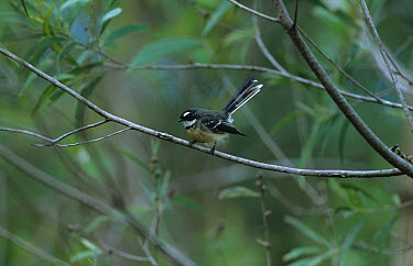 Grey Fantail (Rhipidura fuliginosa) On thin branch, SE Queensland, Australia  -  Neil Bowman/ FLPA