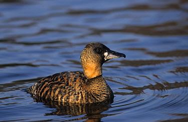 African White-backed Duck (Thalassornis leuconotus) Swimming  -  John Watkins/ FLPA