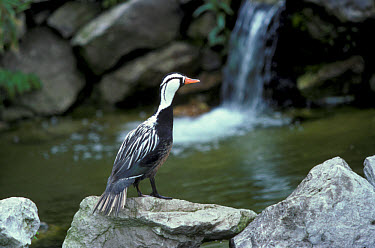Torrent Duck (Merganetta armata) Male standing on rock beside water  -  David Hosking/ FLPA