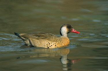 Lesser Brazilian Teal (Amazonetta brasiliensis) Drake swimming, spring  -  John Watkins/ FLPA