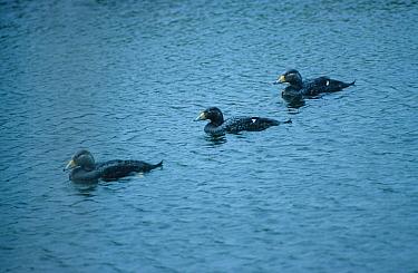 Magellanic Flightless Steamer Duck (Tachyeres pteneres) Three on water  -  David Hosking/ FLPA