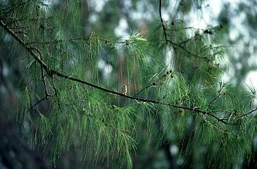 Madagascar Cisticola (Cisticola cherina) 'Malagasy Grass Warbler', Perched in tree, Aldabra  -  David Hosking/ FLPA