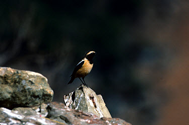 Buff-streaked Chat (Oenanthe bifasciata) Standing on rock, South Africa  -  Roger Tidman/ FLPA