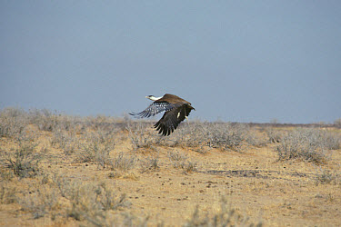 Great Indian Bustard (Choriotis migriceps) In flight close to ground  -  William S. Clark/ FLPA