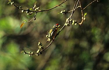 Coppersmith Barbet (Megalaima haemacephala) Feeding on berry, Goa, India  -  Neil Bowman/ FLPA