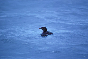 Rhinoceros Auklet (Cerorhinca monocerata) single bird, on water  -  David Hosking/ FLPA