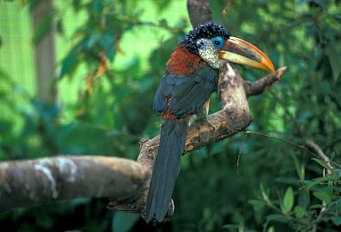 Curl-crested Aracari Perched on branch, Bird Paradise, Hayle,Cornwall, native of S.America  -  Frank Lane/ FLPA