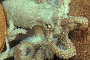 Common Octopus (Octopus vulgaris) Close-up  -  B. Borrell Casals/ FLPA