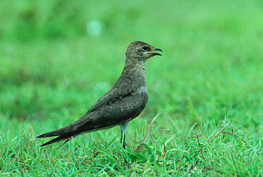 Black-winged Pratincole (Glareola nordmanni) standing on grass,non-breeding,Mahe  -  S. Charlie Brown/ FLPA