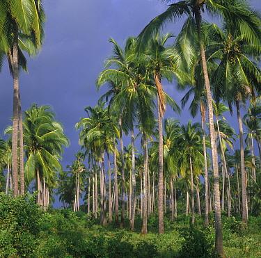 Coconut Crops (Cocos nucifera) Plantation, South of Mombasa, Kenya  -  Frants Hartmann/ FLPA