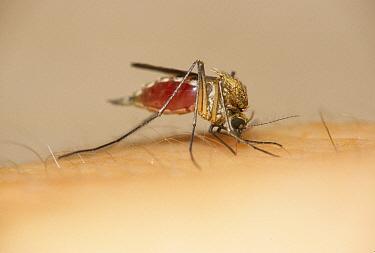 Mosquito (Culex pipiens) on human skin, biting, Michigan  -  Larry West/ FLPA