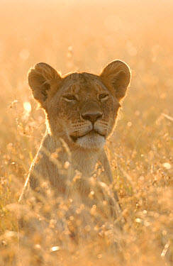 African Lion (Panthera leo) lioness, backlight in long grass, Masai Mara, Kenya  -  Malcolm Schuyl/ FLPA