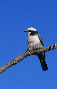 Southern White Crowned Shrike (Eurocephalus anguiti- mens) Perched on branch, Namibia  -  Martin Withers/ FLPA