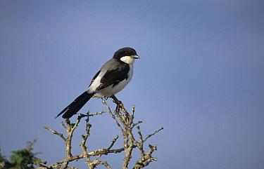 Teita Fiscal (Lanius dorsalis) perched  -  Martin Withers/ FLPA