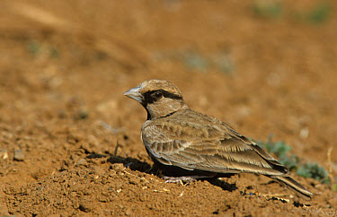 Ashy-crowned Sparrow-Lark (Eremopterix grisea) male on ground, India  -  Robin Chittenden/ FLPA