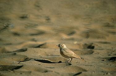 Bartailed Desert Lark (Ammomanes cincturus) Morocco  -  Robin Chittenden/ FLPA