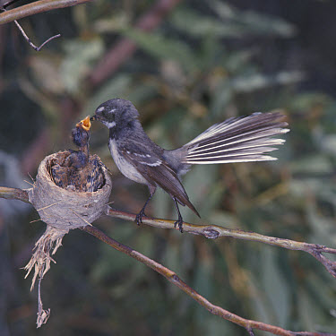 Fantail Grey (Rhipidura fuliginosa) At nest feeding young, Australia  -  Tom and Pam Gardner/ FLPA