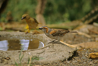 Rufous Sparrow (Passer motitenis) At drinking pool  -  Martin Withers/ FLPA