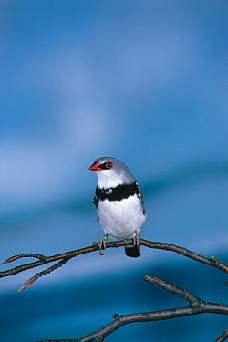 Diamond Sparrow (Steganopleura gutatata) Perched on a twig  -  David Hosking/ FLPA