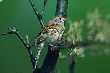 Field Sparrow (Spizella pusilla) Perched in oak sapling, Ohio  -  S & D & K Maslowski/ FLPA