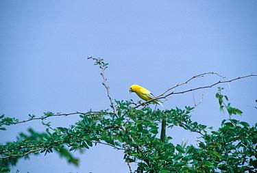 Arabian Golden Sparrow (Passer luteus) Perched on a twig  -  David Hosking/ FLPA