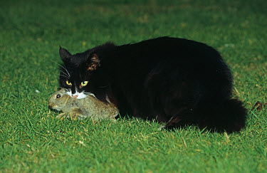 Domestic Cat (Oryctolagus cuniculus) With rabbit in mouth  -  Jeremy Early/ FLPA