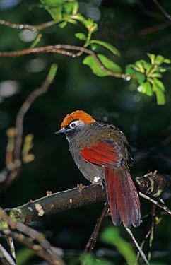 Red-tailed Laughingthrush (Garrulax milnei) perched on branch, Jurong Bird Park, Singapore  -  Eric Woods/ FLPA