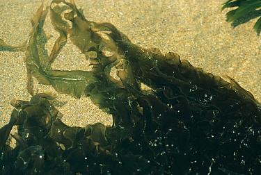 Seaweed, Purple Laver (Porphyra umbilicalis) Submerged in sandy bottomed rockpool, Duckpool  -  D.P. Wilson/ FLPA