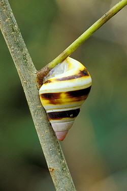 Florida Tree Snail (Liguus fasciatus) South Florida  -  Fritz Polking/ FLPA