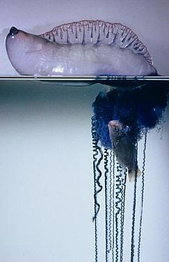 Jellyfish, Portguese Man-of-War,close-up, eating fish  -  D.P. Wilson/ FLPA