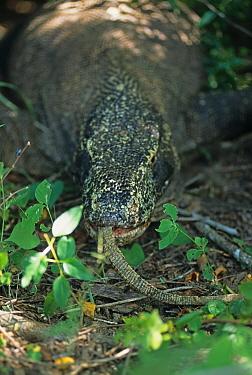 Komodo Dragon (Varanus komodoensis) adult, feeding on baby, with tail protruding from mouth, Komodo Island, Indonesia  -  Colin Marshall/ FLPA