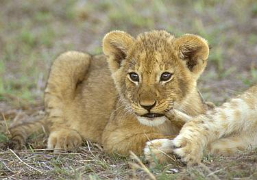 African Lion (Panthera leo) cubs playing, One tail biting, Masai Mara Wildlife Reserve, Kenya  -  Fritz Polking/ FLPA