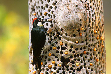 Acorn Woodpecker (Melanerpes formicivorus) female with acorn on Cache tree, Arizona  -  S & D & K Maslowski/ FLPA