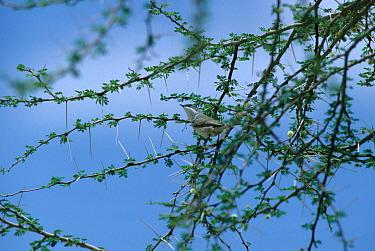 Lesser Whitethroat (Sylvia curruca minula) 'Small' or 'Desert' Whitethroat  -  David Hosking/ FLPA