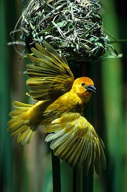 Golden Palm Weaver (Textor bojeri) In flight, leaving nest, Mombasa, Kenya  -  Fritz Polking/ FLPA