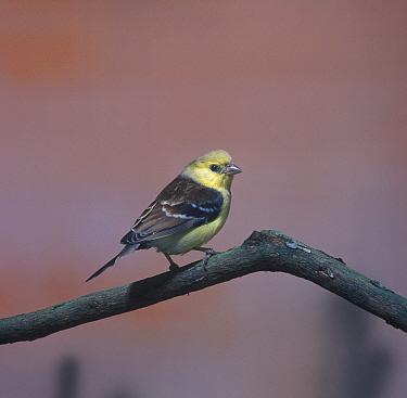 Yellow Sparrow (Auripasser luteus) Captive  -  David Hosking/ FLPA